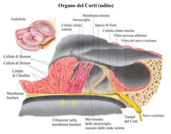 endolinfa-organo-del-corti-750x589.jpg
